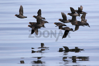 A flock of Crested auklet flying over the waters of the Pacific Ocean