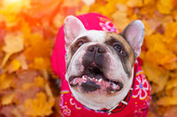 French bulldog in autumn leaves. Smile dog. Dog in overalls for a walk in the park. A little dog.