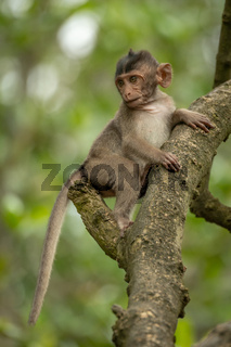 Baby long-tailed macaque in tree looking down