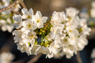 Flowering cherries in the spring. Flowers of cherry against the background of tree. White flowers bloom on a branch.