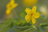 Yellow anemone (Anemone ranunculoides)