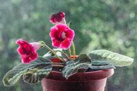 Blooming home flower Gloxinia. Beautiful red flower