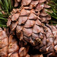 Cedar branch with cones close up
