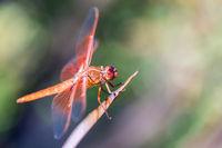 Flame (firecracker) Skimmer (Libellula saturata dragonfly) resting on a leaf.