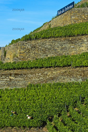 Terraced vineyard on dry stone walls on a steep slope, Pinhao, Douro Valley, Portugal