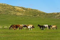Herd of horses grazing in the steppe, Mongolia