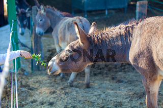offer of food to the mule