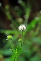 Flower of lesser teasel, Dipsacus pilosus