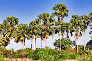 Palmenlandschaft im Liwonde Nationalpark, Malawi | Landscape with plams at Liwonde National Park, Malawi