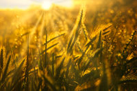 Wild grass backlit by setting sun