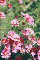 beautiful pink flowers in sunlight