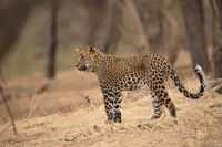 Indian leopard,  Panthera pardus fusca, Jhalana, Rajasthan, India.