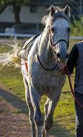 Portrait of the grey arab stallion.
