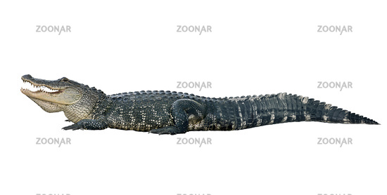 American alligator on white background