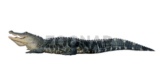 American alligator on white background