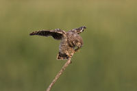 Young Little Owl learn  fly with closed eyes
