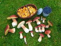Forest fruits in Sweden, pine bolete, chanterelles, blue berries