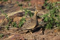 Painted sandgrouse, Pterocles indicus, Tadoba national park, Maharashtra, India.