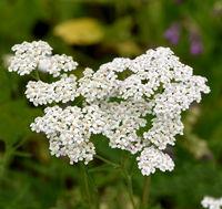 Schafgarbe, Achillea, millefolium