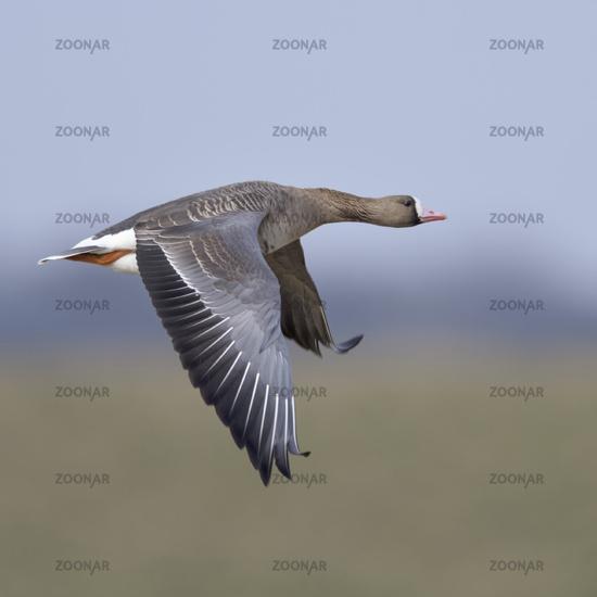 White-fronted Goose * Anser albifrons * flying, in flight