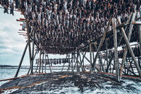 Drying flakes for stockfish cod fish in winter. Lofoten islands,