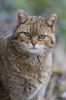 European Wildcat ,Felis silvestris, Europaeische Wildkatze Portrait