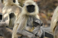 Breastfeeding Indian grey langur, Semnopithecus, Bandhavgarh, Madhya Pradesh, India