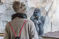 Woman watching huge silverback gorilla male behind glass in zoo. Gorilla staring at female zoo visitor in Biopark in Valencia, Spain