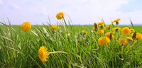 Dandelions field background on spring sunny day.