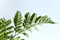 Closeup of a branch of fern on a gray background with copy space. Natural foliage layout. Flat lay