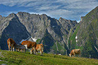 Grazing cows in the Zillertal Alps, Austria, Europe