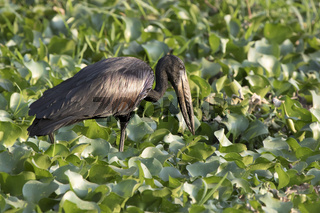 African open billed stork that feeds on shallow water with plants on the shore of Lake Victoria