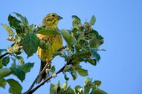 Yellowhammer in a tree