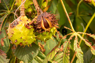 a brown ripe chestnut is still hanging from a chestnut tree whose leaves have been damaged by the miner moth