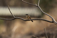 Ashy prinia, Prinia socialis, Sinhagad valley, Pune district, Maharashtra, India.