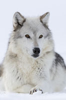 Gray Wolf * Canis lupus * lying in snow, frontal view
