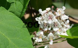 Catalpa bignonioides flowers