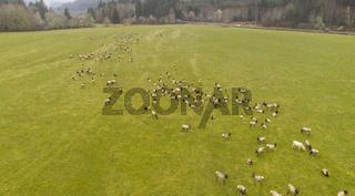 A Large Herd of Roosevelt Elk including an Albino Graze Together