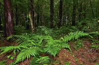 Mysterious dark pine forest and beautiful fern leaves among trunks