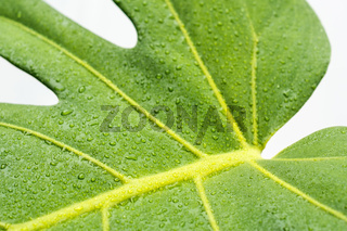 water drops on monstera leaf closeup , dew droplets on philodendron plant