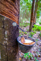 Latex collected from a rubber tree