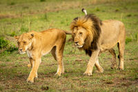 Male and female lions cross grassland together