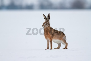 European brown hare on snow in winter with white background