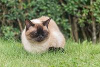Beautiful Ragdoll domestic cat enjoys it sitting in the green grass