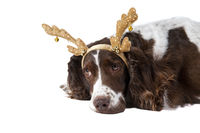 Brown and White Cocker Spaniel dog with Holiday Reindeer Antlers laying on white backdrop looking sa