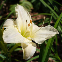 Day lily, Hemerocallis