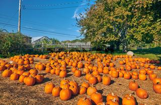 Fresh pumpkins on farm field