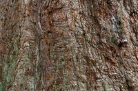 Bark of a 150 years old sequoia