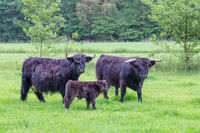Family black scottish highlanders in spring meadow