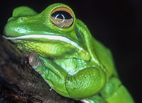 Tree frog on branch